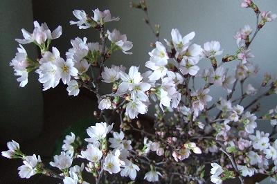 s-2009_0302sakura0001.jpg
